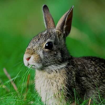 Rabbit sitting in the grass